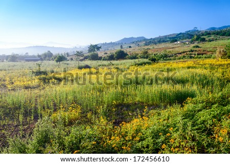 Landscape of yellow flower field in Chiang Mai, Thailand