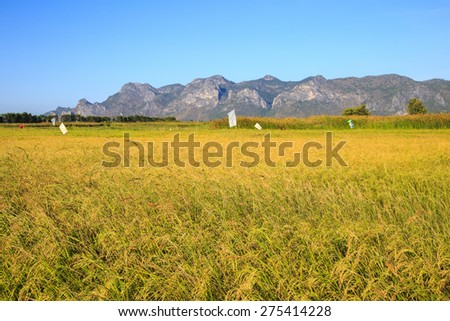 Landscape of yellow rice field in Khao Sam Roi Yot National Park, Thailand - stock photo