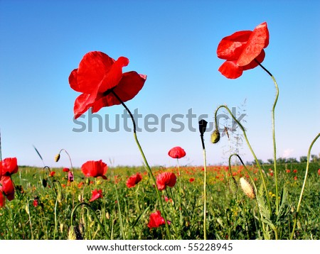 Landscape - poppy's field, blue sky and green grass