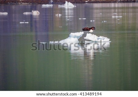 Landscape shot of Bald eagle landing on ice floe in Alaska's Glacier Bay - stock photo