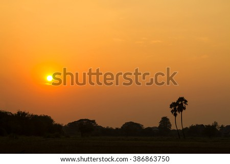 Landscape sugar palm tree on rice fields in sunset