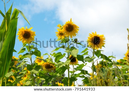 Landscape. Three large sunflowers gaze down upon the camera. They are surrounded by more sunflowers. Behind them the sky is blue.