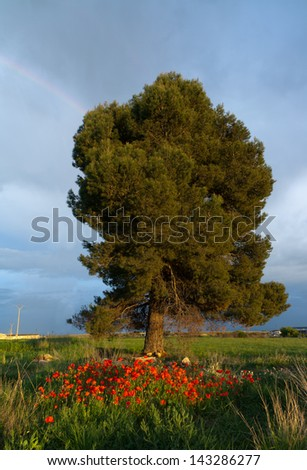 landscape tree and poppies