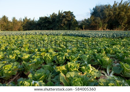 Landscape view of a freshly growing cabbage field.