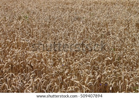 Landscape view of a wheat field