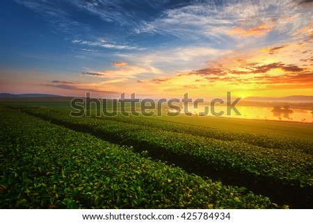 Landscape view of sunrise at green tea field.