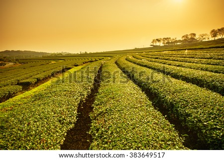Landscape view of tea plantation with blue sky in morning. Beautiful tea field.