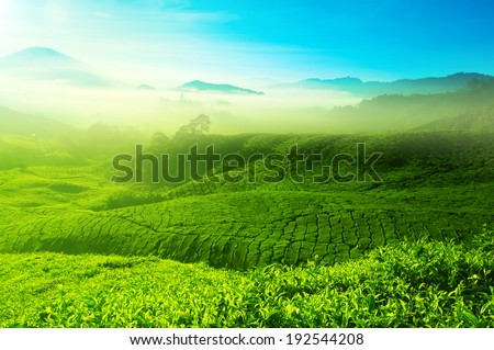 Landscape view of tea plantation with blue sky in morning. Beautiful tea field Cameron Highlands in Malaysia. - stock photo
