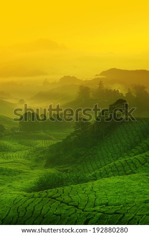 Landscape view of tea plantation with golden sunrise in morning. Beautiful tea field Cameron Highlands in Malaysia. - stock photo