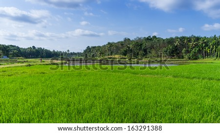 Landscape view over rice field plantation. Kerala, India