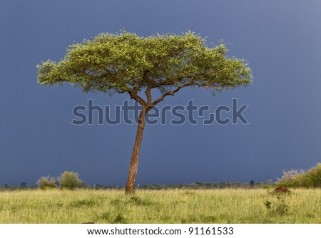 Landscape with a cloud and the lone tree in savannah on the Masai Mara National Reserve - Kenya - stock photo