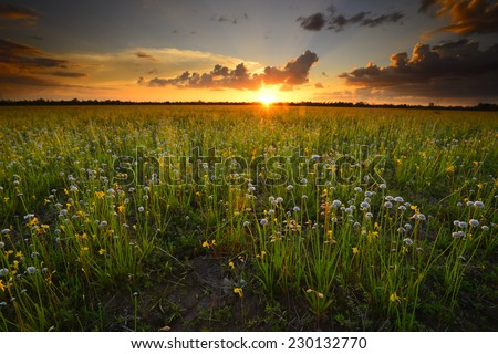 Landscape with a field of yellow flowers. Sunset