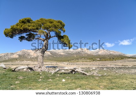 Landscape with a lonely pine tree into the National Park of  Sierra Maria - Los Velez ,Spain