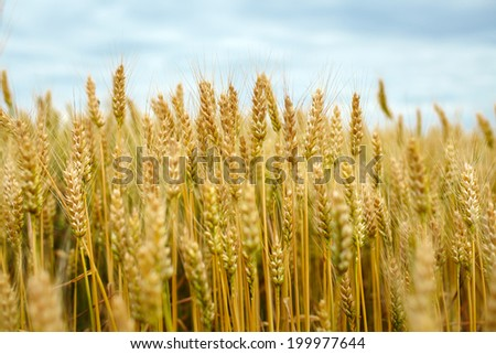 Landscape with a ripe wheat field with selective focus - stock photo