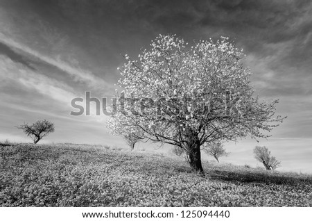 landscape with almond trees in black and white - stock photo