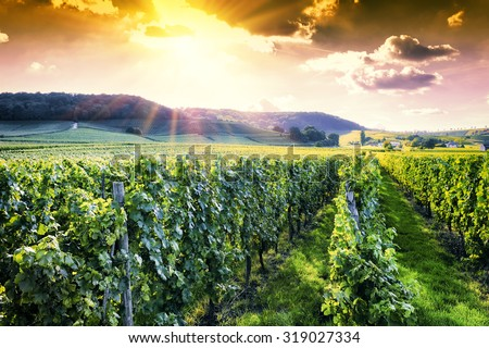 Landscape with autumn vineyards at sunset  - stock photo