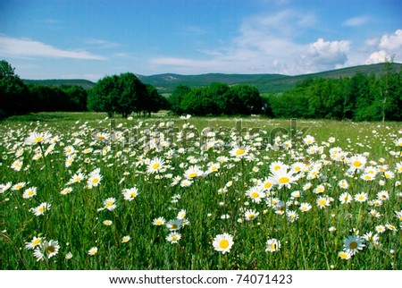 Landscape with camomiles field on foreground. - stock photo