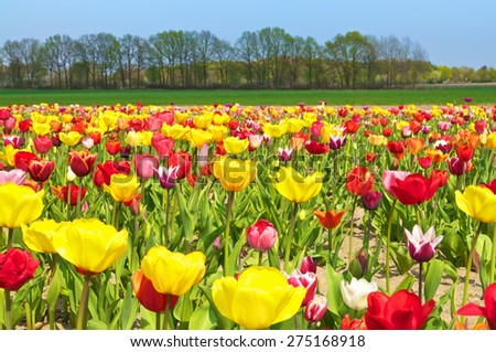 Landscape with colorful tulip field, meadows and trees in springtime