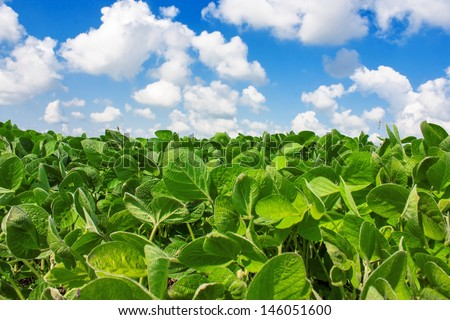Landscape with field of young soybean plants and blue sky - stock photo