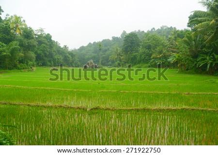 Landscape with green fields of tea in Sri Lanka - stock photo