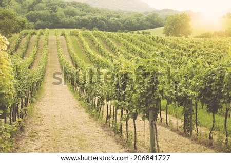 Landscape with green vineyards and Mountains at background