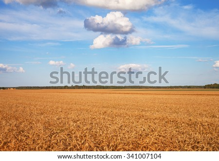 Landscape with growing gold wheat.