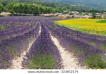 landscape with  lavender and sunflowers  field, Provence, France