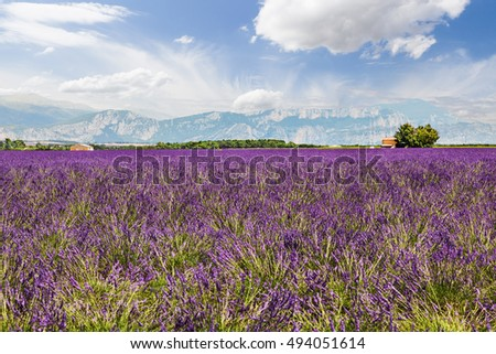 Landscape with lavender field in Valensole. Provence, France.