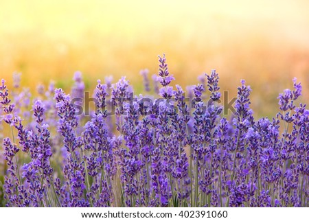 Landscape with lavender flowers at sunlight, sunny colors and blur background. Nature background with lavender in the garden, soft light effect. Sunrise on violet lavender field. - stock photo