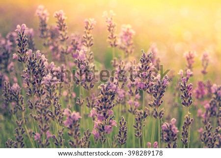 Landscape with lavender flowers at sunlight, sunny colors and bokeh effect. Nature background with lavender in the garden, soft light. Sunset on violet lavender field. - stock photo