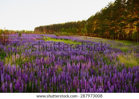 landscape with lupines and pine plantation - stock photo