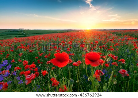 Landscape with nice sunset over poppy field - stock photo
