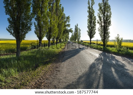Landscape with old road between the yellow rapeseed fields and poplar trees on the roadside - stock photo