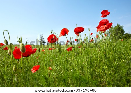 landscape with red flowers poppies against the sky - stock photo