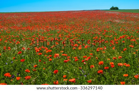 Landscape with red poppy field and blue sky. - stock photo