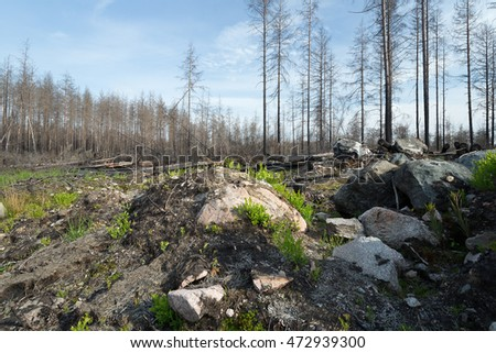 Landscape with rocks and burnt pine trees, both standing and cut down after a forest fire in sweden