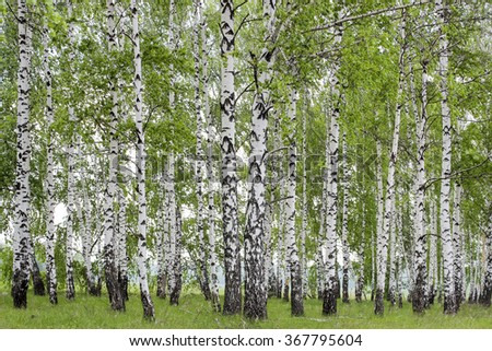 Landscape with views of verdant birch grove in the spring - stock photo