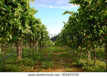 Landscape with vineyard