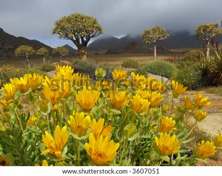 Landscape with wild flowers and quiver trees (Aloe dichotoma), Namaqualand, South Africa - stock photo