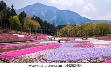 Landscaped fields of Shiba Sakura flowers in Japan - stock photo