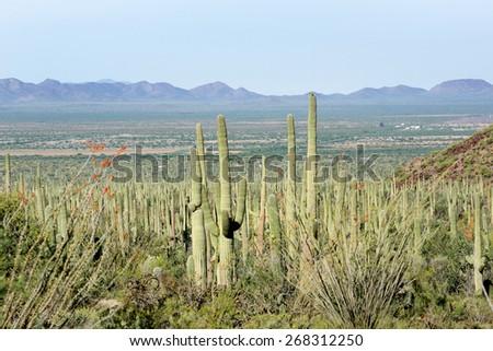 Landscapes Saguaro National Park, Arizona, USA - stock photo