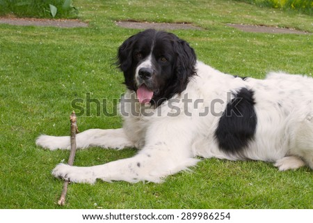 Landseer dog lying in a garden and playing and holding a branch - stock photo