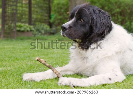 Landseer dog lying in a garden, playing and holding a branch
