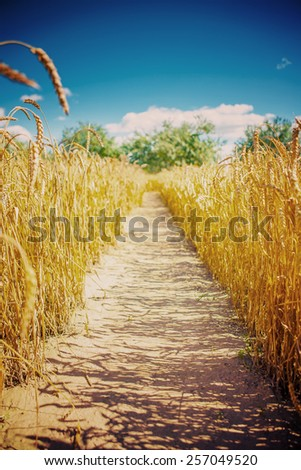 lane on wheat field before harvesting instagram stile - stock photo