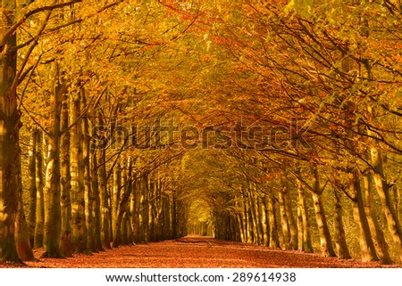 Lane through the beech trees in a forest in autumn colors with fallen leaves on the ground. - stock photo
