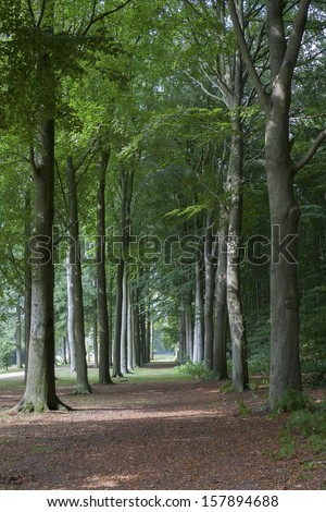 Lane with beech trees at Groeneveld Estate in summer (Baarn, the Netherlands). Look also for the fall, winter and spring version of this location. Files: 122197468, 122197462 and 138936659 - stock photo