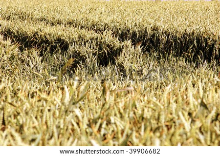 Lanes in a cornfield - stock photo