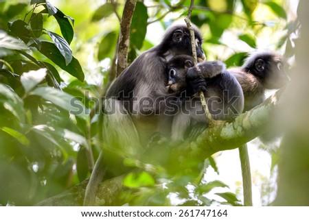 langurs are raising children on tree - stock photo