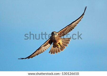 Lanner falcon (Falco biarmicus) in flight against a blue sky, South Africa - stock photo