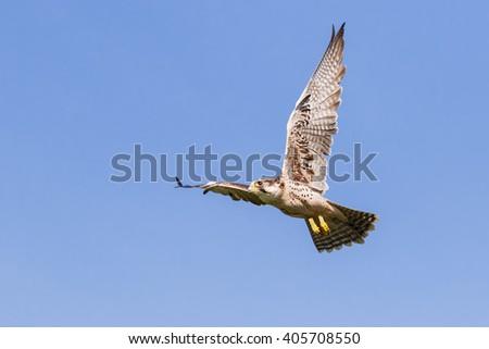 Lanner falcon in a clear blue sky. A lovely lanner falcon spreads its wings as it flies across a clear blue sky. - stock photo